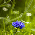 Cornflower by Angel Ciesniarska