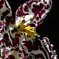 Cribet Exotic Orchids by C Ribet