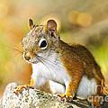 Cute Red Squirrel Closeup by Elena Elisseeva