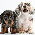 Dachshund Puppies by Mark Taylor