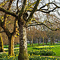 Daffodils In St. James's Park by Elena Elisseeva
