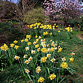 Daffodils (narcissus Sp.) by Dr Keith Wheeler