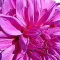 Dahlia Named Lilac Time by J McCombie
