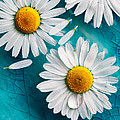 Daisies Floating In Water by Kati Finell
