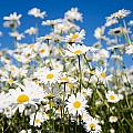 Daisies by Kati Finell