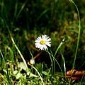 Daisy Daisy by Isabella F Abbie Shores FRSA