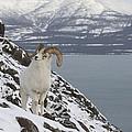 Dall Sheep Ovis Dalli Ram, Yukon by Michael Quinton