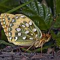 Dark Green Fritillary Butterfly by Dr Keith Wheeler