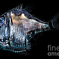 Deep-sea Hatchetfish by Dant� Fenolio