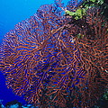 Deep Water Sea Fan by Alexis Rosenfeld