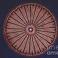 Diatom by Eric V. Grave