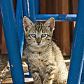 Domestic Cat Felis Catus Kitten, Germany by Konrad Wothe