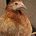 Domestic Chicken by Raul Gonzalez Perez