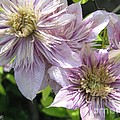 Double Clematis Named Empress by J McCombie