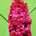 Double Hyacinth 'hollyhock' by Archie Young