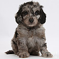 Doxie-doodle Puppy by Mark Taylor