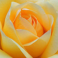 Dreamy Rose by Dave Mills