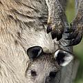 Eastern Grey Kangaroo Joey by Tony Camacho