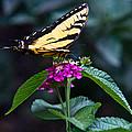 Eastern Tiger Swallowtail 3 by Douglas Barnett