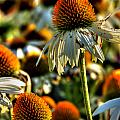 Echinacea Pow Wow by Michael Frank Jr