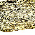 Eel Scale, Light Micrograph by Dr Keith Wheeler
