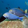 Elongate Surgeonfish by Georgette Douwma