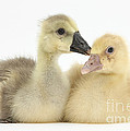 Embden X Greylag Goslings by Mark Taylor