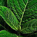 Emerging Hydrangea Leaf by  Onyonet  Photo Studios