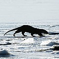 European Otter On Sea Ice by Duncan Shaw