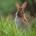 European Rabbit Oryctolagus Cuniculus by Cyril Ruoso