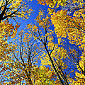 Fall Maple Trees by Elena Elisseeva