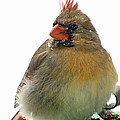 Female Cardinal In The Snow by Debbie Portwood