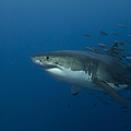 Female Great White Shark With A School by Todd Winner