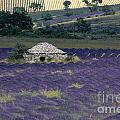 Field Of Lavender. Sault by Bernard Jaubert