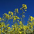 Field Of Rape In Bloom. Auvergne. France. Europe by Bernard Jaubert