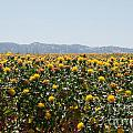Fields Of Safflowers by Carol Ailles