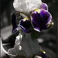 Filoli Iris by Linda Dunn