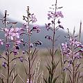Fireweed In A Sea Of Grass by Franklin Jeffers