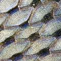 Fish Scales Background by Odon Czintos