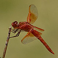 Flame Skimmer by Stephanie Salter