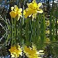 Flooded Daffodils by Bill Barber