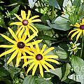 Flower Rudbeckia Fulgida In Full by Ted Kinsman