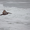 flying Pelican by Ralf Kaiser