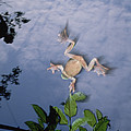 Foam Nest Tree Frog Polypedates Dennysi by Mark Moffett