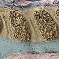 Foetal Spinal Column by Steve Gschmeissner