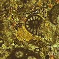 Foraminiferous Limestone Lm by M. I. Walker