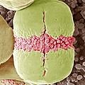 Forget-me-not Pollen, Sem by Steve Gschmeissner