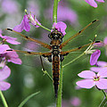 Four-spotted Skimmer by Doris Potter