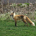Fox With Dinner by Daryl Hanauer