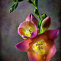Freesia by Endre Balogh